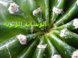 السائد الإبرية_Echinopsis_eyriesii