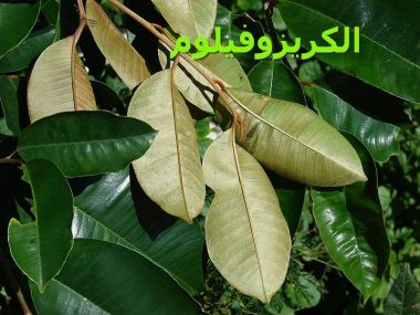 الكريزوفيلوم _Chrysophyllum_oliviforme