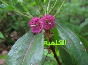 الكلمية-Kalmia_angustifolia_ JPG