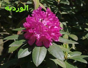الورديةRhododendron_catawbiense