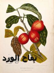 تفاح الورد3