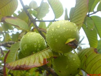 جوافة_Guava