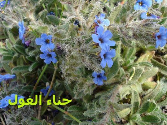 حناء الغول 00-Alkanna_tinctoria2