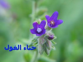 حناء الغولAnchusa_officinalis_