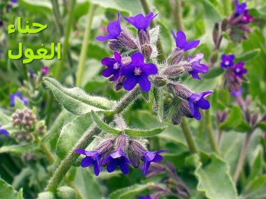 حناء الغولAnchusa_officinalis_eF
