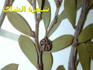 شجرة الشاي_Leptospermum_laevigatum