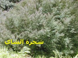 شجرة الشاي_Leptospermum_morrisonii