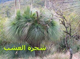 شجرة العشب-Xanthorrhoea_4