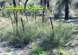 شجرة العشب-Xanthorrhoea_brunonis