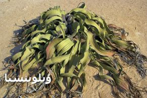 ويلويتشيا 0000Welwitschia_mirabilis