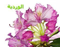 Rhododendron_smirnowii_الوردية3