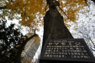 ヤマモミジ札幌