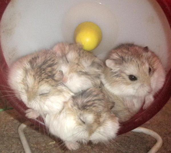 Sleeping Hamster On Wheel