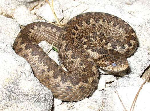 Vipera ursinii, venomous viper and a very widespread species from France to China.