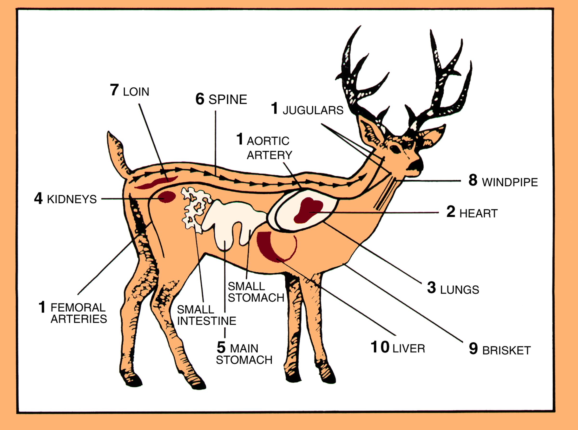 Whitetail Deer Anatomy Diagram