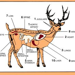 Best Place To Shoot A Deer Diagram 480v 3 Phase 6 Lead Motor Wiring Anatomy Video Search Engine At