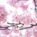 二条城桜祭り2018ライトアップでインスタ映えする撮影スポットや時間は?