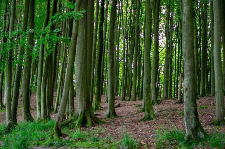 Troncs d'arbre de la forêt de Jasmund, en Allemagne