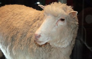 Dolly – The female domestic sheep rests in Edinburgh