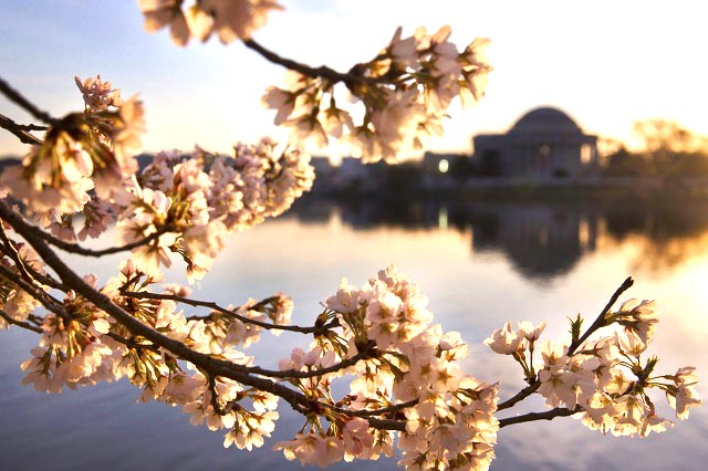 The cherries of friendship in Washington