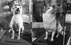 Belka and Strelka – The Soviet Space Dogs resting at the Museum of Cosmonautics in Moscow