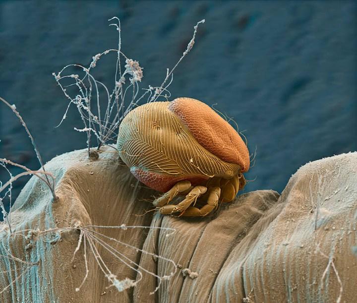 parasitic-mite-on-mosquito-larva-nicoe-ottawa