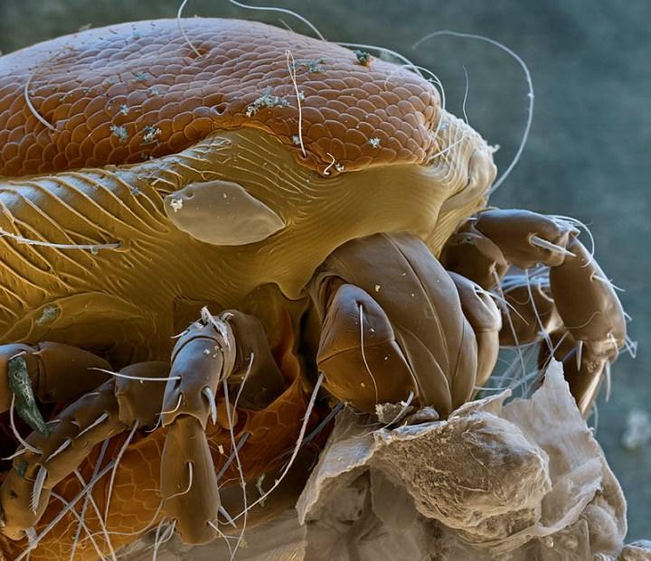 water-mite-mircoscope-photography-nicole-ottawa