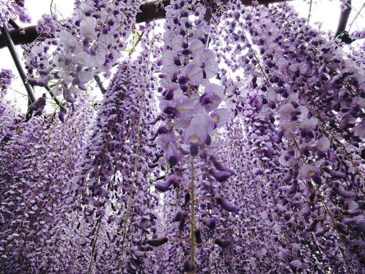 kawachi-fuji-garden-kitakyushu-japan-wisteria-2