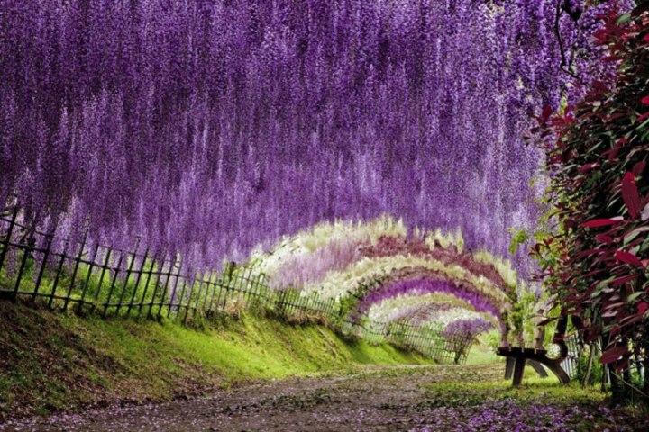 kawachi-fuji-garden-kitakyushu-japan-wisteria-5
