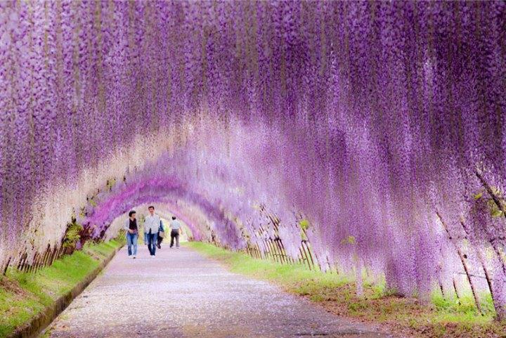 kawachi-fuji-garden-wisteria-tunnel-kitakyushu-japan-4