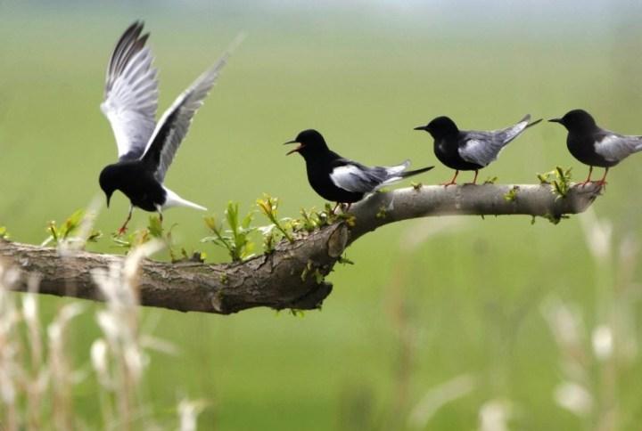 Biebrza River, Biebrza National Park - a white-winged tern / Piotr Skórnicki / Agencja Gazeta
