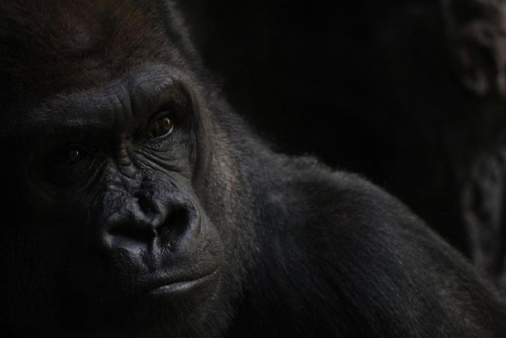 3smithsonian-photo-contest-naturalworld-gorilla-portrait-vanessa-bartlett