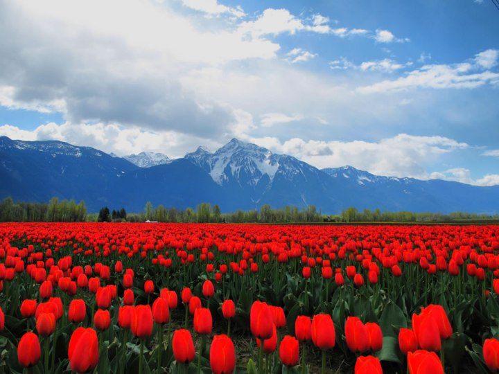 Sea of red tulips in Fraser Valley. Photo by Kyle Pearce