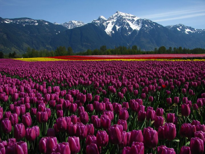 "Tulip fields on Seabird Island, Agassiz, British Columbia. Tulip festivals are held in many locations around the world. These gorgeous and beautifully-fragrant flowers were once so popular that they sparked a speculative frenzy now called ""tulip mania."" During this time, tulips were so expensive that they were treated as a form of currency. Photo by Dru!"