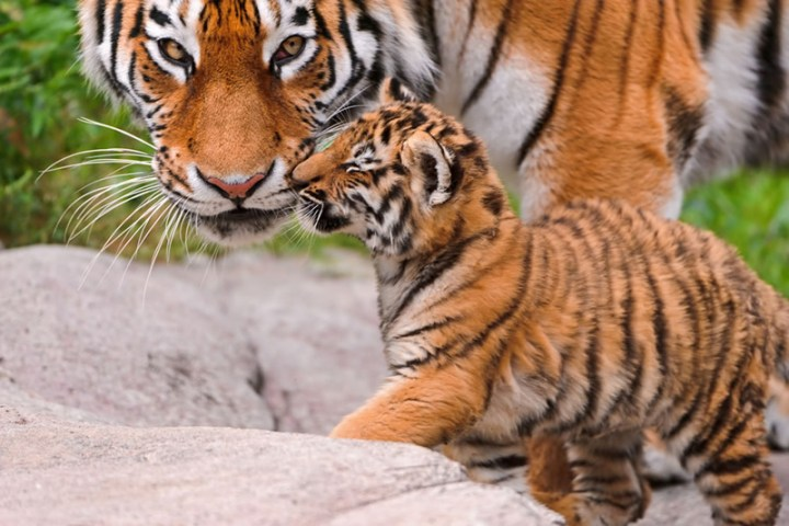 Tiger mom and child having a loving moment. Photo by Tambako the Jaguar