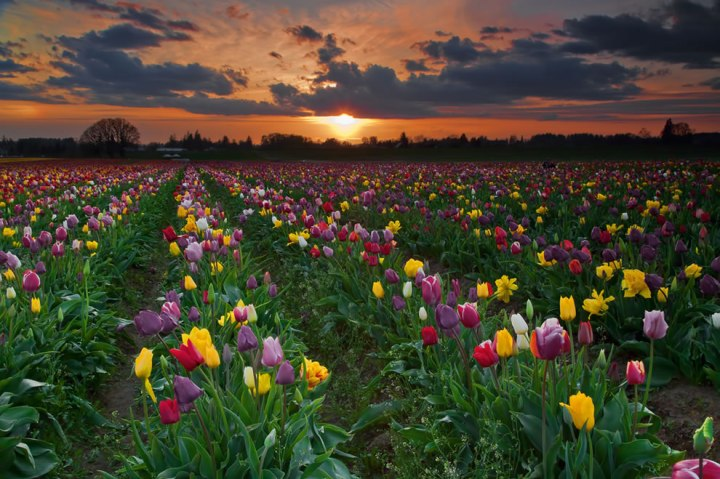 "Tulip fields at sunset. Did you know that tulips come in many colors, except for pure blue? Tulips with ""blue"" in the name usually have a violet hue. Photo by stokes rx"