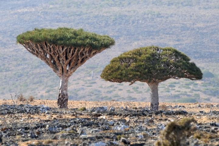 Dracaena-cinnabari-aka-Dragons-Blood-trees-on-Socotra