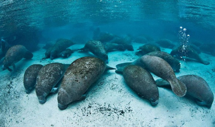Manatees-at-Three-Sisters-Springs