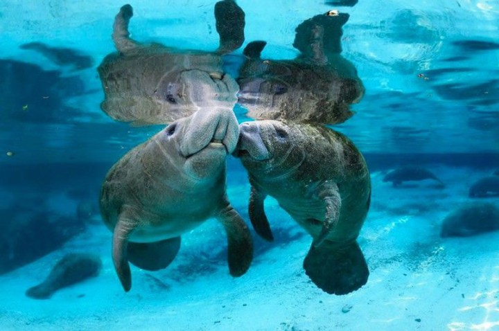 Manatees-in-love