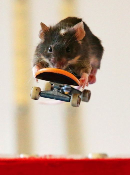 you_have_to_see_these_pictures_of_skateboarding_mice_13