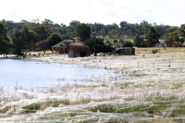 cocooned-trees-wagga-wagga-field-of-spiders