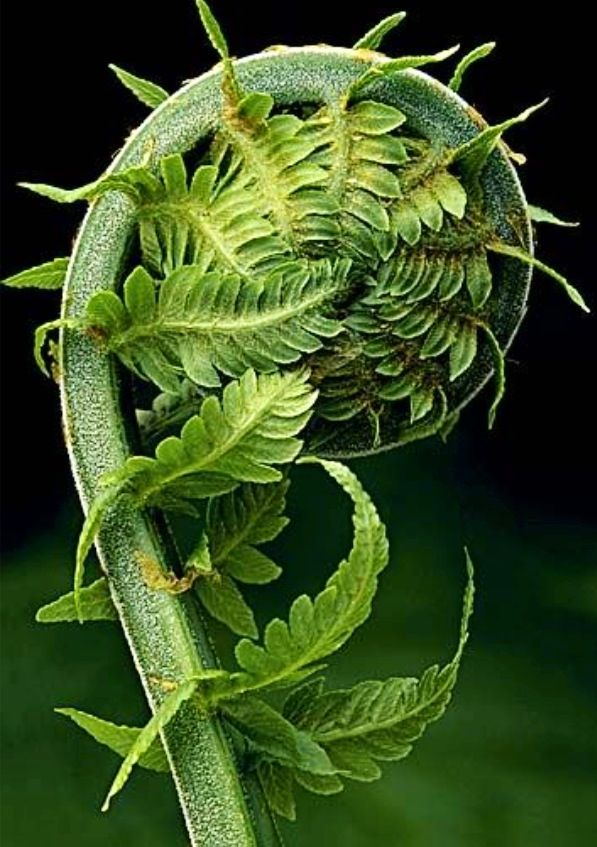 ... the golden ratio in nature. Photo Gallery