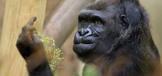 gorilla-middle-finger-bob-pitchford-bristol-zoo-3