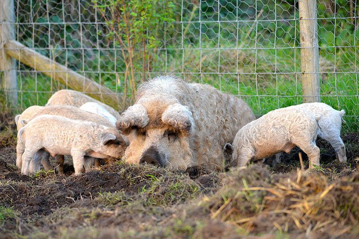 mangalitsa-furry-pigs-hairy-sheep-410__700