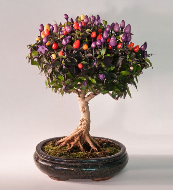 amazing-bonsai-trees-25-5710f90bdc5e1__700
