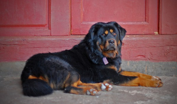 the_tibetan_mastiff_at_our_hostel