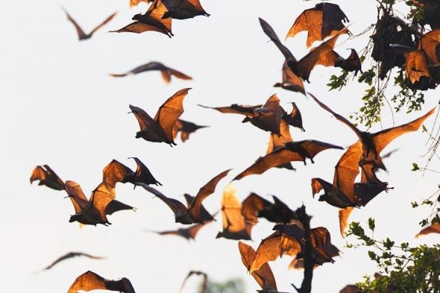 Kansaka Bat Migration, Bat Migration, zambia bat migration