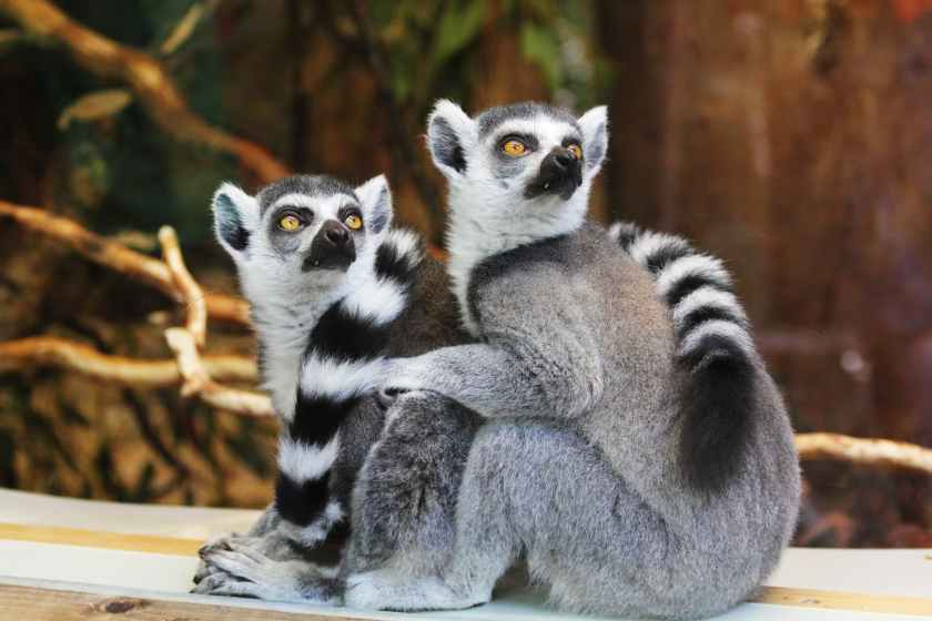 two gray lemurs sitting on wooden surface