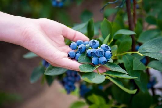 blueberry festival.jpg