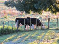 Cows in the morning light on the farm